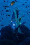 Yellowbar Angelfish. Close-up Yellowbar Angelfish (Pomacanthus maculosus). Taken at Ras Mohamed in Red Sea stock photos