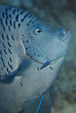 Yellowbar Angelfish. Close-up Yellowbar Angelfish (Pomacanthus maculosus). Taken at Ras Mohamed in Red Sea royalty free stock photography