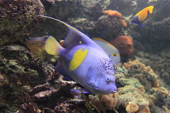 Yellowbar angelfish Stock Image