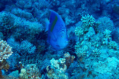 Yellowbar Angelfish. (Pomacanthus maculosus) on the background corals in the Red Sea, Egypt stock photos