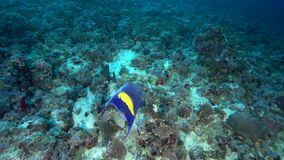 Yellowbar angelfish Pomacanthus maculosus in coral of Red sea Sudan. Shaab Rumi stock video footage