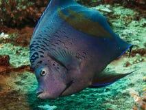 Yellowbar Angelfish. (Pomacanthus maculosus). Taken in Red Sea, Egypt royalty free stock image
