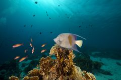 Yellowbar Angelfish in the Red Sea. Royalty Free Stock Photos