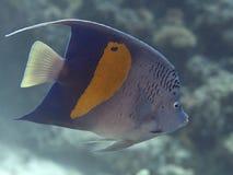 Yellowbar angelfish royalty free stock photos