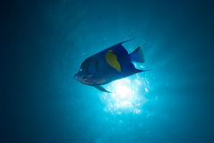 Yellowbar angelfish and sun. Side View of a Yellowbar angelfish (Pomacanthus maculosus) and sun from underwater, Red Sea, Egypt stock photo