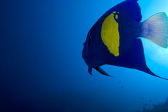 Yellowbar angelfish and sun. Rear view of a Yellowbar angelfish (Pomacanthus maculosus) on a blue background, Red Sea, Egypt royalty free stock image