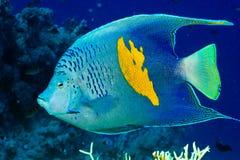 Yellowbar havsängel royaltyfri foto