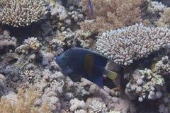 Yellowbarzeeëngel in rode overzees royalty-vrije stock foto's