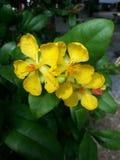 Yellowbeautifulflower Foto de archivo libre de regalías