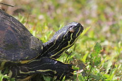 Yellowbellied slider Stock Photo