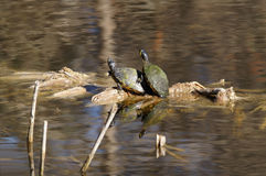 Yellowbelly Slider Turtles Stock Images
