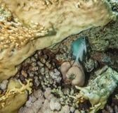 Yellowbellydamselfish - Amblyglyphidodon Fotografering för Bildbyråer