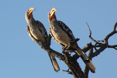 Yellowbill Birds. Yellowbills on branch with blue sky in background Royalty Free Stock Image
