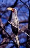 yellowbilled южная hornbill Стоковые Изображения