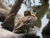 Yellowbilled  duck. This  sleeping yellowbilled  duck was  photographed is  the  Rietvlei   Nature  reserve   in  Pretoria Royalty Free Stock Photos