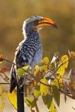 yellowbilled hornbill Ботсваны Стоковая Фотография