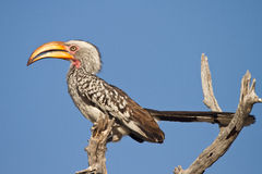 Yellowbilled hornbill stock photo