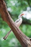Yellowbilled Hornbill. On old wood royalty free stock photography
