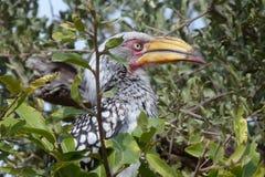 Yellowbilled hornbill Arkivbilder