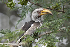 Yellowbilled hornbill in an acacia tree Royalty Free Stock Photography