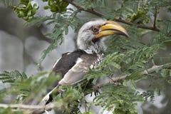 Yellowbilled hornbill in an acacia tree Royalty Free Stock Photography
