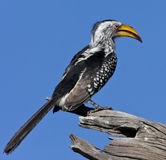 Yellowbilled Hornbill - Botswana. A Yellowbilled Hornbill (Tockus flavirostris) in the Savuti region of Northern Botswana Royalty Free Stock Photography