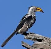 Yellowbilled Hornbill - Botswana. A Yellowbilled Hornbill (Tockus flavirostris) in the Savuti region of Northern Botswana royalty free stock photography