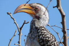 Yellowbilled hornbill. Close up shot of hornbill in  kruger national park sitting in a thorn tree Royalty Free Stock Photography