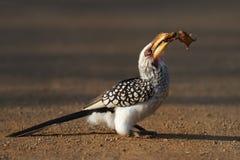 Yellowbilled Hornbill die kikker eet Stock Afbeelding