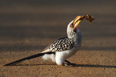 Yellowbilled Hornbill eating frog. Southern yellowbilled hornbill eating a frog (Kruger National Park - South Africa stock image