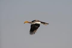 Yellowbilled hornbill is fly, etosha nationalpark, namibia. Yellowbilled hornbill is flying, etosha nationalpark, namibia, tockus leucomelas stock photography