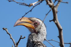 Yellowbilled hornbill. The photo of  this   yellow billed hornbill was  taken   in  the   Kruger  National  park   in  South  Africa Royalty Free Stock Photos