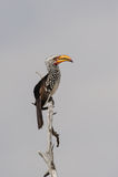 Yellowbilled hornbill sit on a knot. Tockus leucomelas, etosha nationalpark, namibia royalty free stock photography