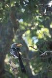 Yellowbilled hornbill, Tockus flavirostris. Yellowbilled hornbill Tockus flavirostris on a tree, Botswana stock photography
