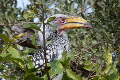 Yellowbilled hornbill. This yellowbilled was photographed  in the Kruger  National  Park  whilst  looking  for  insects  etc   to  eat Stock Images