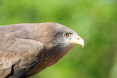 Yellowbilled Kite Royalty Free Stock Photography