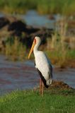 Yellowbilled Stork Royalty Free Stock Photos