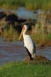 Yellowbilled Stork Royalty Free Stock Photos