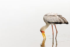 Yellowbilled stork Royalty Free Stock Photography