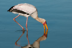 Yellowbilled stork Stock Images