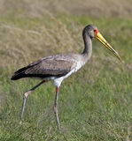 Juvenile Yellow-billed Stork  - Botswana Royalty Free Stock Photo