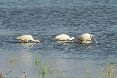 Yellowbilled stork, Nakuru Lake Royalty Free Stock Images