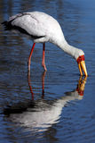 Yellowbilled Stork - Okavango Delta - Botswana Stock Photos