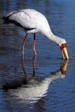 Yellowbilled Stork - Okavango Delta - Botswana stock photos