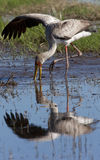 Yellowbilled Stork - Okavango Delta - Botswana Royalty Free Stock Images