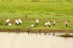 Yellowbilled storks Royalty Free Stock Photography