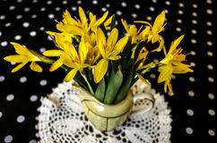 Yellowcro. First spring yellow crocus at a small jug on black background at white polka dots stock photo