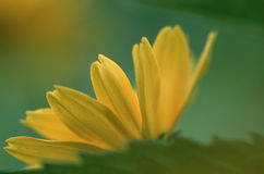 Yellowdaisy. Underside of yellow daisy Royalty Free Stock Images