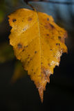 Yellowed autumn birch leaf. Bathed in morning dew Stock Photos