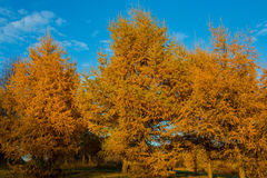 Yellowed autumn larch Royalty Free Stock Images